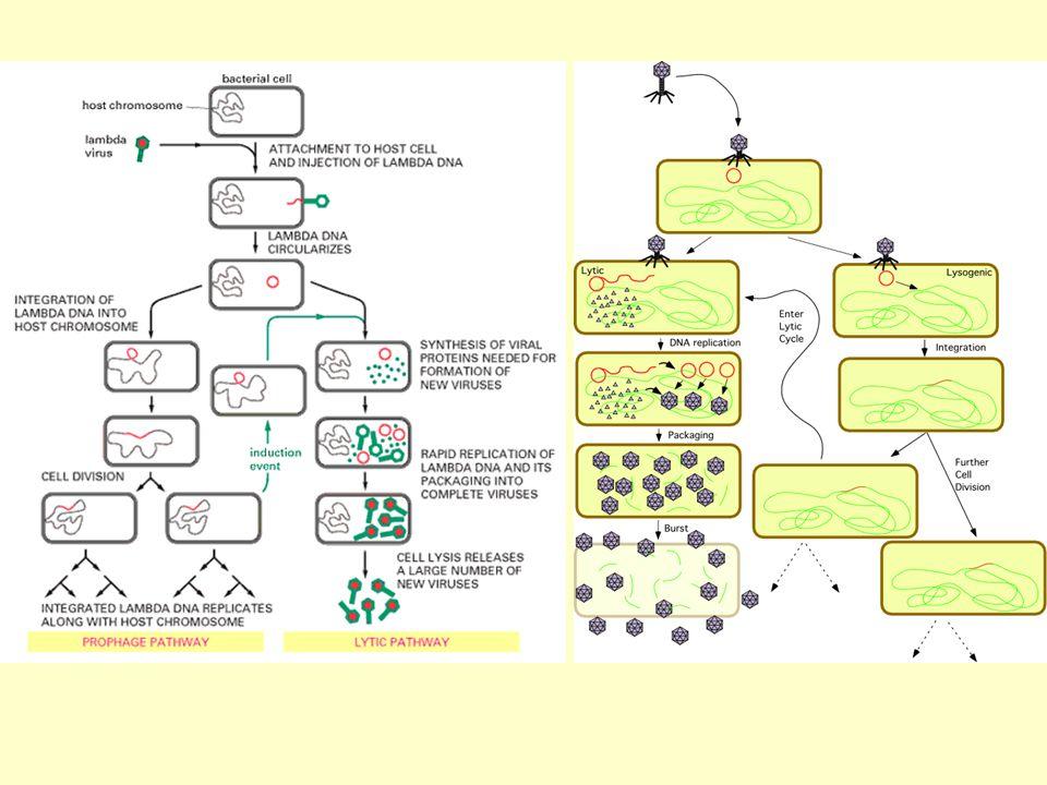 Les phages virulents se multiplient dans la bactérie (ou mieux sont répliqués par la bactérie) et la lysent à la fin du cycle, libérant les nouvelles particules virales (virions).