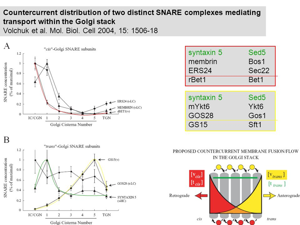 Sft1 Bet1 Sed5 Bos1 Sec22 Sed5 Gos1 Ykt6 budding ARF1 budding ARF6 SNARE dissociation NSF, SNAP SNARE dissociation NSF, SNAP trans-Golgi cis-Golgi Rab6 Rab1