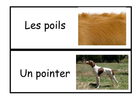 Les poils Un pointer.