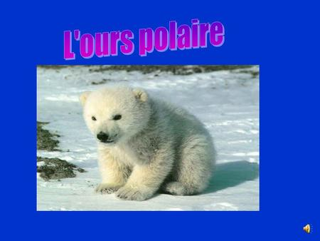. L'ours polaire.
