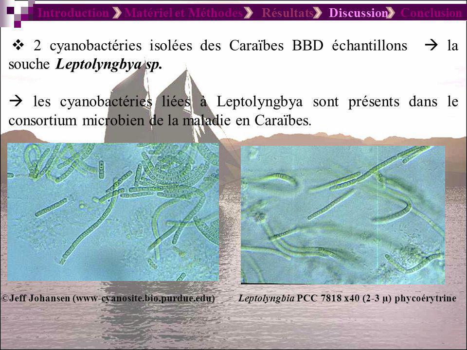 Introduction Matériel et Méthodes Résultats Discussion Conclusion Signification écologique des cyanobactéries de la BBD Les cyanobactéries du genre Geitlerinema et Leptolyngbya isolés de la bande noire supportent tous la stratégie de la photosynthèse oxygénique résistant au sulfure rare chez les cyanobactéries.
