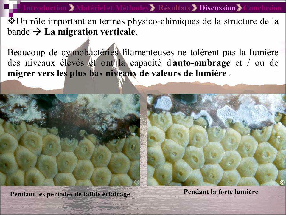 Introduction Matériel et Méthodes Résultats Discussion Conclusion Non seulement une seule espèce de cyanobactéries qui constitue la maladie des bandes noires mais une sorte de plusieurs espèces.