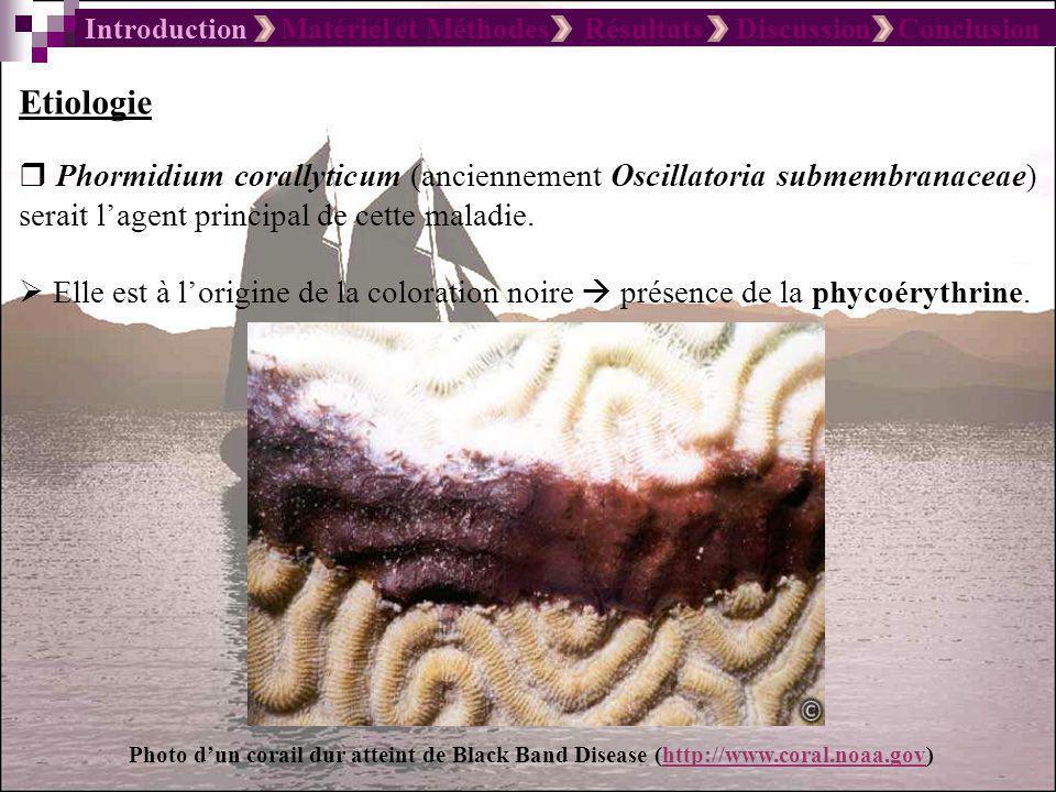Introduction Matériel et Méthodes Résultats Discussion Conclusion Ainsworth et al., 2006 Pathogénie Le tissu du corail est détruit en raison de labsence doxygène au niveau de la zone en contact avec la bande noire les tissus sont exposés aux sulfures dhydrogène produits par les bactéries Les bactéries nécrosent le tissu du corail en sécrétant un produit toxique.