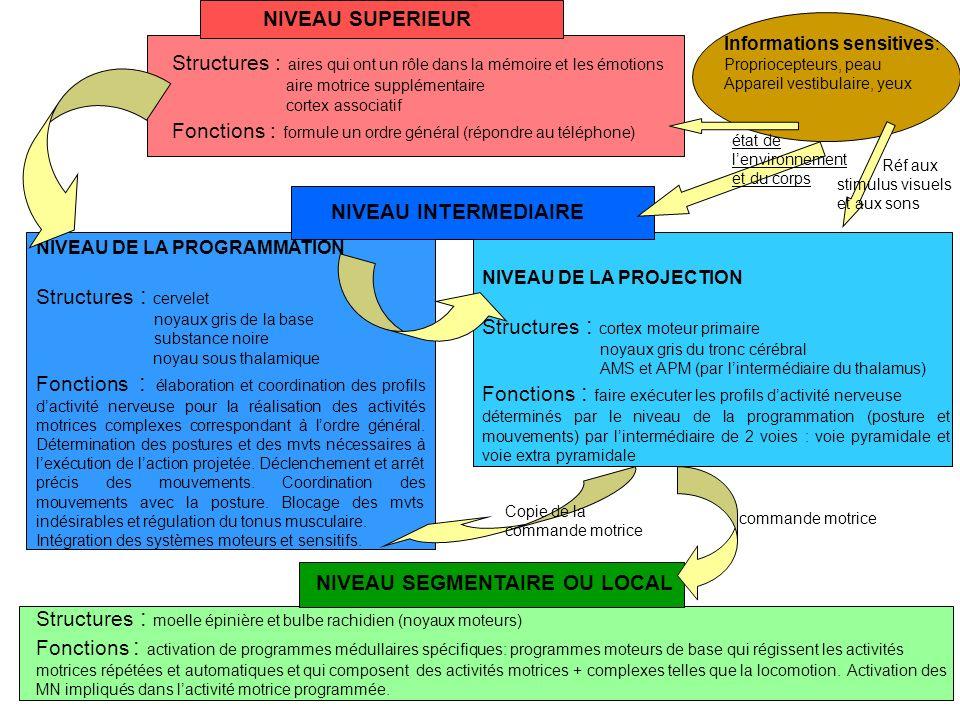 Hiérarchie de la régulation motrice Régulation motrice est hiérarchisée : différents niveaux fonctionnels de régulation de la motricité.