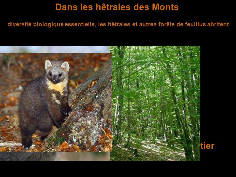 Dans les hêtraies des Monts La martre Le chat forestier diversité biologique essentielle, les hêtraies et autres forêts de feuillus abritent