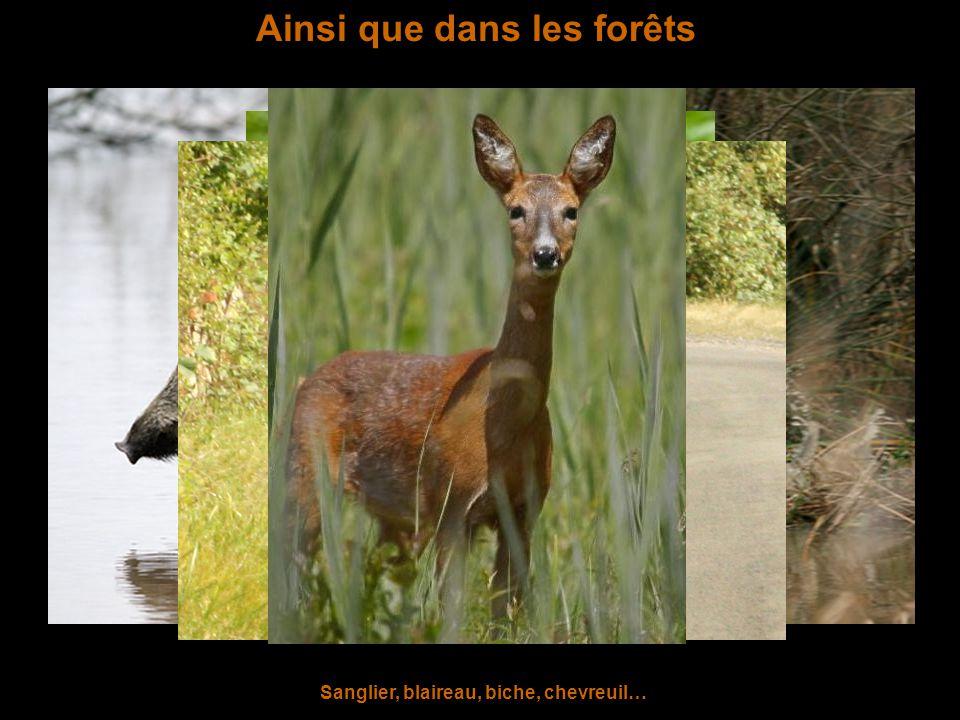 Ainsi que dans les forêts Sanglier, blaireau, biche, chevreuil…