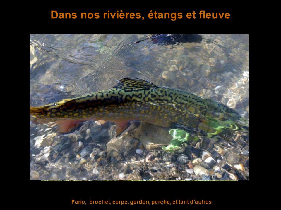 Dans nos rivières, étangs et fleuve Fario, brochet, carpe, gardon, perche, et tant d'autres