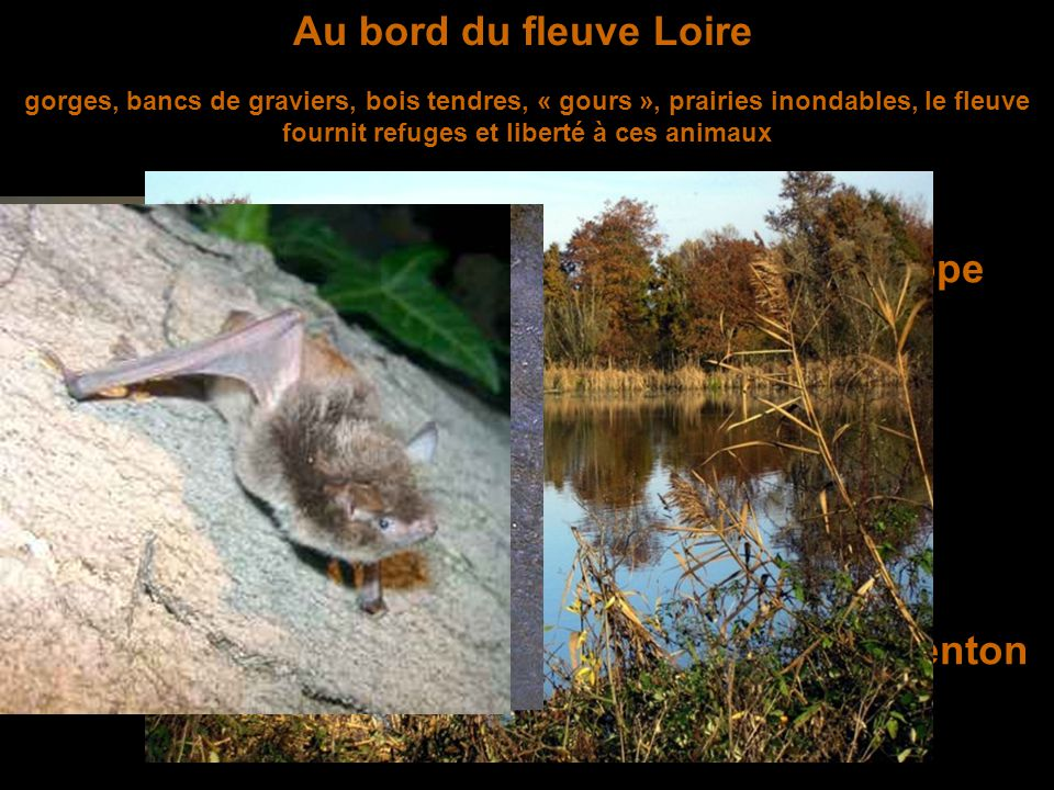 Au bord du fleuve Loire gorges, bancs de graviers, bois tendres, « gours », prairies inondables, le fleuve fournit refuges et liberté à ces animaux Le castor d'Europe Le murin de Daubenton La cistude