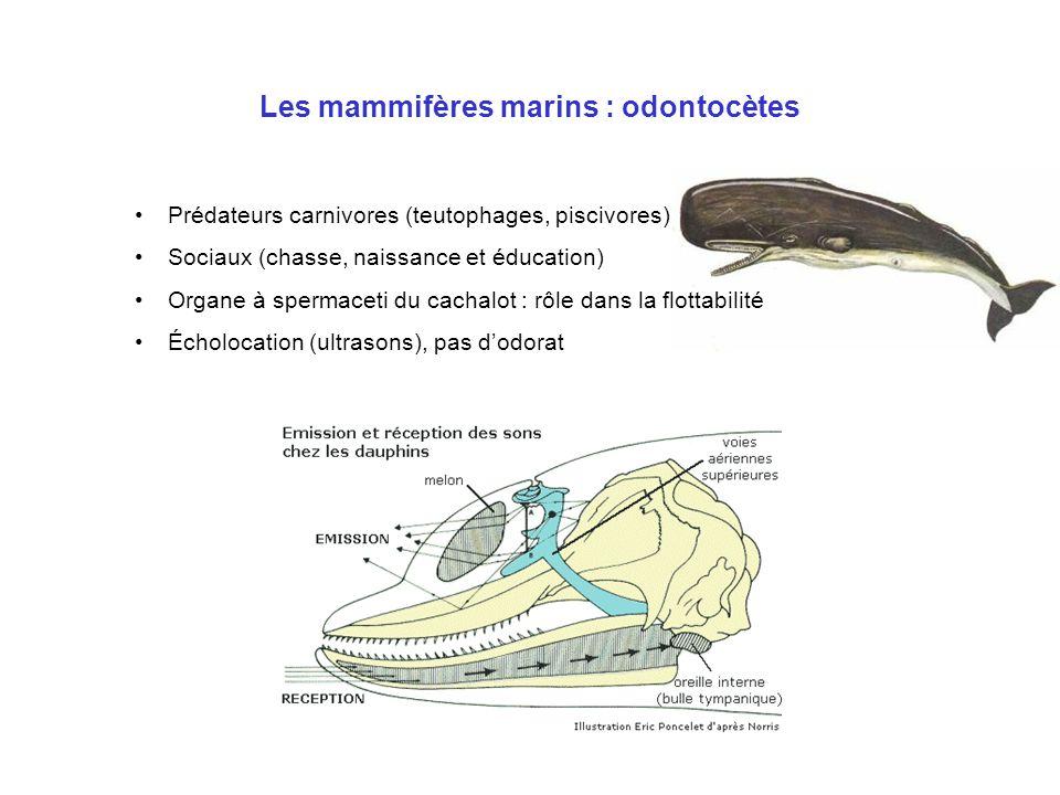 Les mammifères marins : siréniens •Apparentés aux proboscidiens (éléphants) •Herbivores •Dugongs : marins (océan Indien et Pacifique occidental) •Lamantins : eaux douces, saumâtres et côtières (Atlantique) •Faible natalité : 1 petit par femelle tous les 2 à 3 ans maximum •Un seul prédateur : l'homme