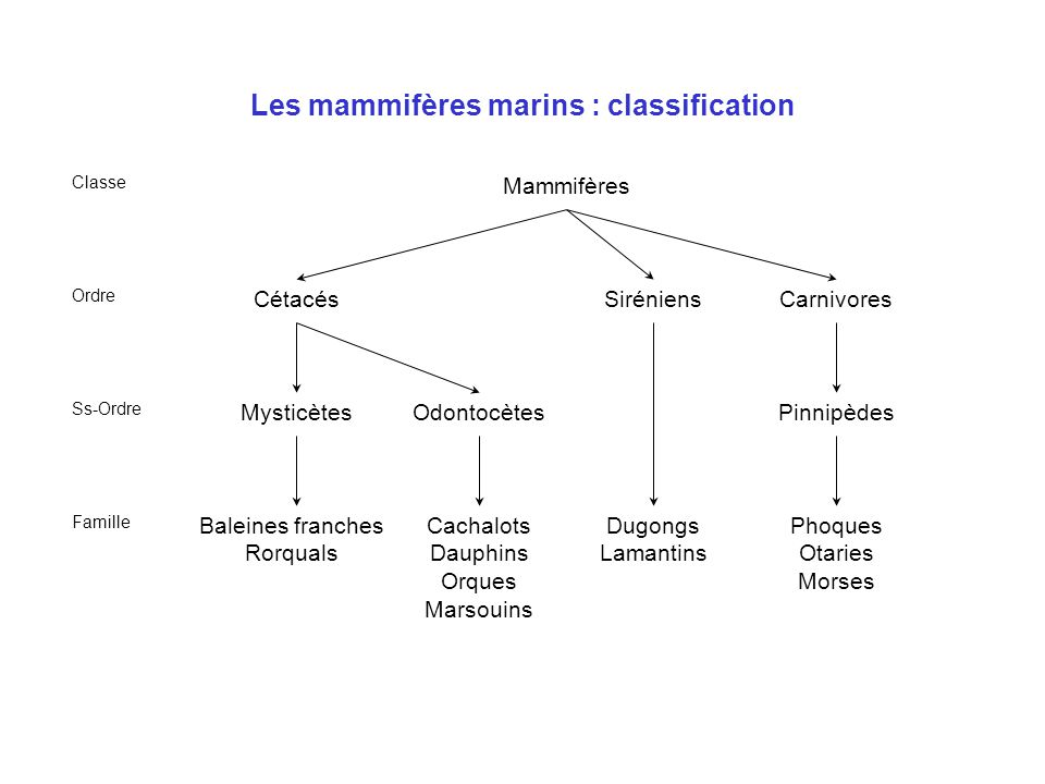 Les mammifères marins : cétacés •Ancêtre terrestre (-60Ma) apparenté aux ongulés primitifs (artiodactyles), mode de vie proche de celui de la loutre actuelle •Voies digestive et respiratoire séparées •Narines migrées au sommet du crâne : évent •Pas d'organes saillants pour l'hydrodynamisme : mamelles et pénis rétractables •Membres postérieurs vestigiaux •Protégés en France par arrêté ministériel de 1970