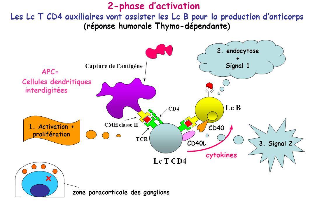 Coopération cellulaire T-B : production AC exception: Ag thymo-indépendants: Lipopolysaccharides (LPS /lipoprotéines): activateurs polyclonaux des Lc B; réponse IgM Ag thymo- dépendants : AG protéiques - capture AG par récepteur Ig des LcB - présentation via CMH II (rôle des motifs ITAM des chaînes Ig et Igβ associées au BCR) - ligation CD40 (LcB) et CD40 ligand (LcT) - rôle des cytokines: Ag parasitaires ou allergènes: IL-4;IL-5 Ag bactériens ou viraux : IFN- ;IL-2