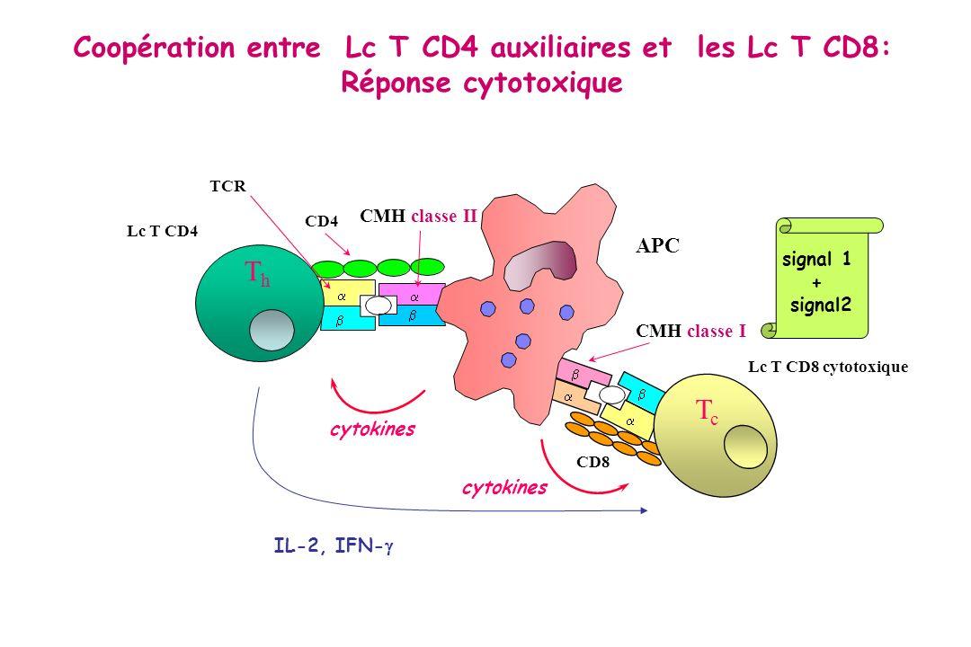 LFA - 3 ICAM - 1 LFA - 1 CD 2 - S – S - TCR - CD 3 LcT CD8 Cellule cible Antigène CD 8 Molécule de classe I du CMH Peptide