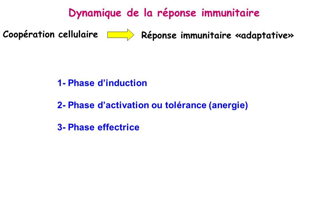 Migration et maturation des cellules dendritiques (Rôle CCR7 et ICAM-1) Zone T Ganglions lymphatiques Molécule CMH II Molécule CMH I B7 Capture de lAg et endocytose peau Immature Cellule dendritique interdigitée 1-phase dinduction