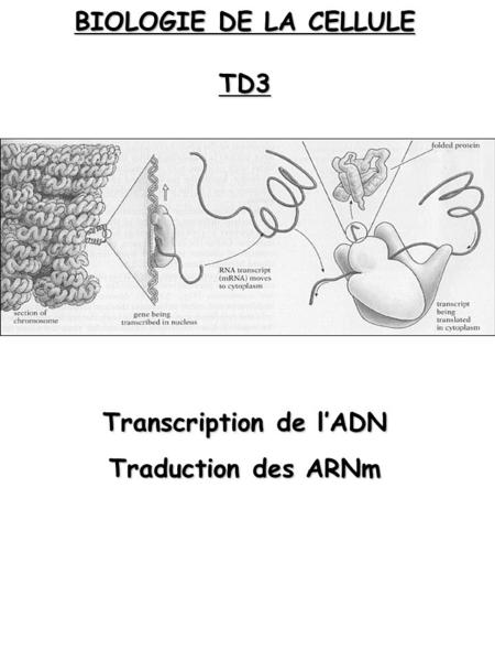 BIOLOGIE DE LA CELLULE TD3 Transcription de lADN Traduction des ARNm.