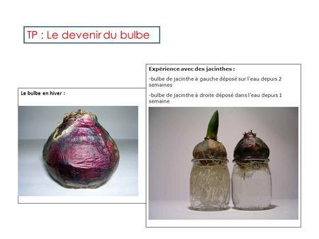 Les plantes vivaces ppt video online t l charger - Bulbe de jacinthe ...