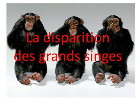 La disparition des grands singes.