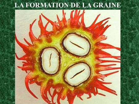 LA FORMATION DE LA GRAINE. Inflorescence et fruits.