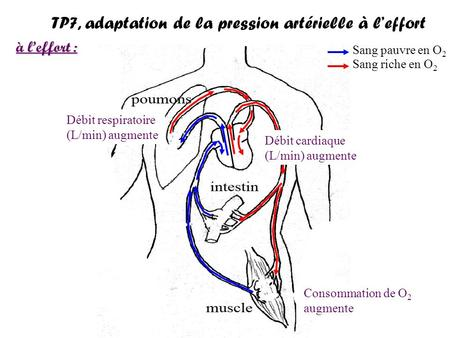TP7, adaptation de la pression artérielle à l'effort