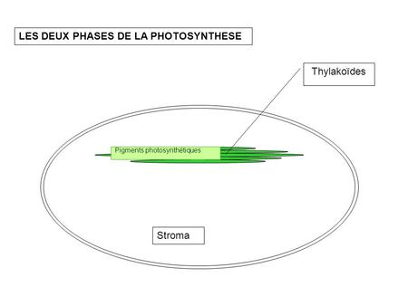 LES DEUX PHASES DE LA PHOTOSYNTHESE