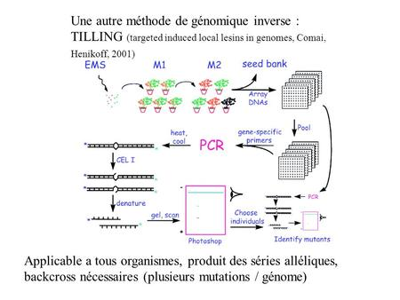 Une autre méthode de génomique inverse : TILLING (targeted induced local lesins in genomes, Comai, Henikoff, 2001) Applicable a tous organismes, produit.