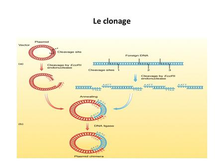 Le clonage. Les enzymes de restriction.