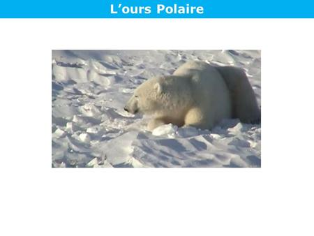 L'ours Polaire.