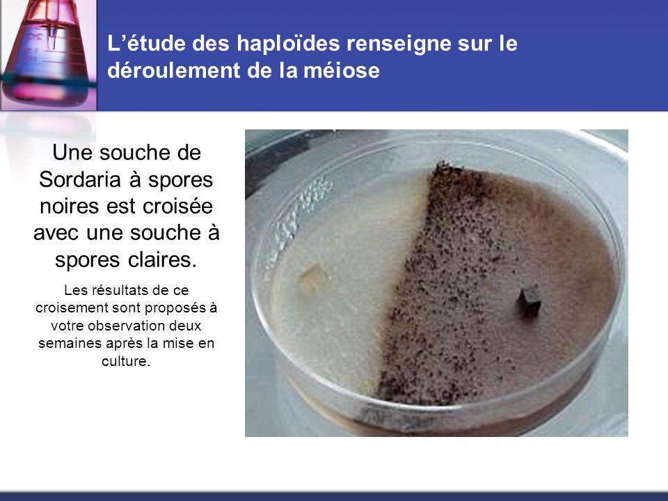 L'étude des haploïdes renseigne sur le déroulement de la méiose A la limite entre les deux souches apparaissent des fructifications appelées périthèces, contenant des sacs allongés appelés asques.