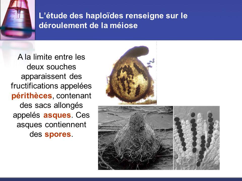 L'étude des haploïdes renseigne sur le déroulement de la méiose Prélever et monter quelques périthèces en les écrasant entre lame et lamelles dans une goutte d'eau ( ou déchirer ces périthèces à l'aide de deux épingles) Prélever délicatement quelques périthèces à l'aide d'une aiguille lancéolée.