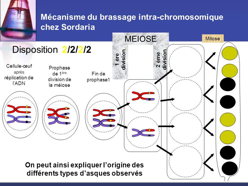2 ème division Mécanisme du brassage intra-chromosomique chez Sordaria Cellule-œuf après réplication de l'ADN Fin de prophase1 1 ère division MEIOSE Mitose On peut ainsi expliquer l'origine des différents types d'asques observés Disposition 2/4/2 Prophase de 1 ère division de la méiose
