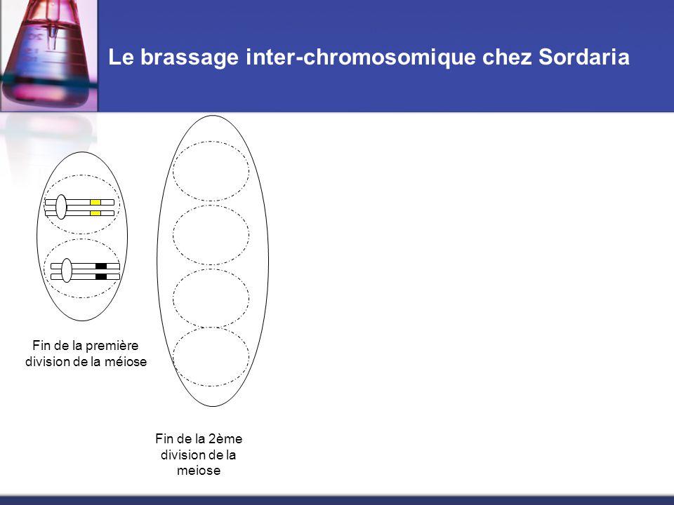 Le brassage inter-chromosomique chez Sordaria Fin de la première division de la méiose Fin de la 2ème division de la meiose Réplication