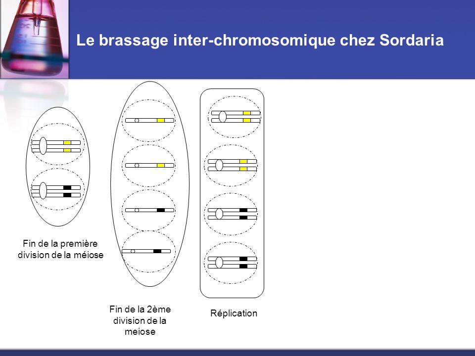 Le brassage inter-chromosomique chez Sordaria Fin de la première division de la méiose Fin de la 2ème division de la meiose Réplication Fin de la mitose Asque obtenu