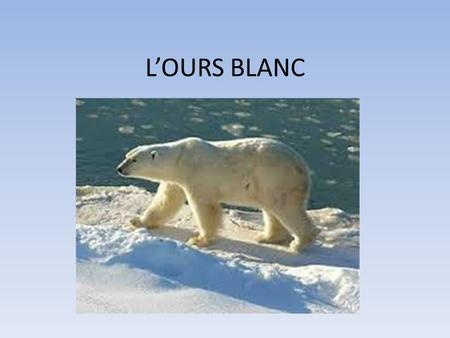 L'OURS BLANC.
