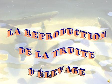 La reproduction de la truite d'élevage.