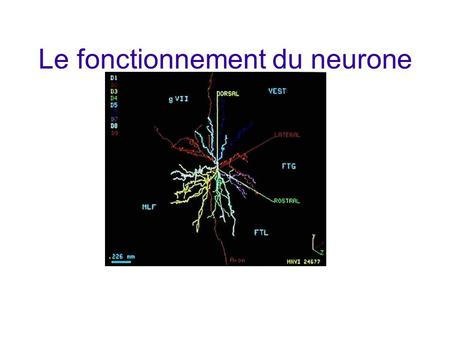 Le fonctionnement du neurone
