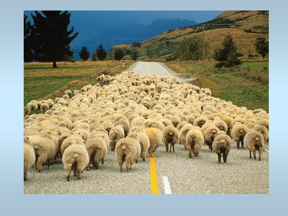 Des moutons Un troupeau de moutons