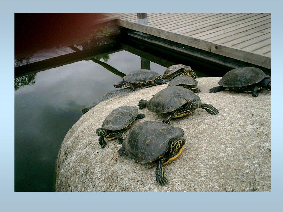 Des tortues Des tortues sur un rocher