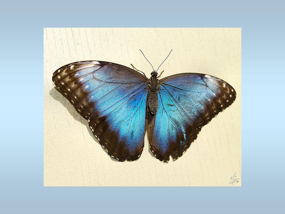 Un papillon Cest un morpho