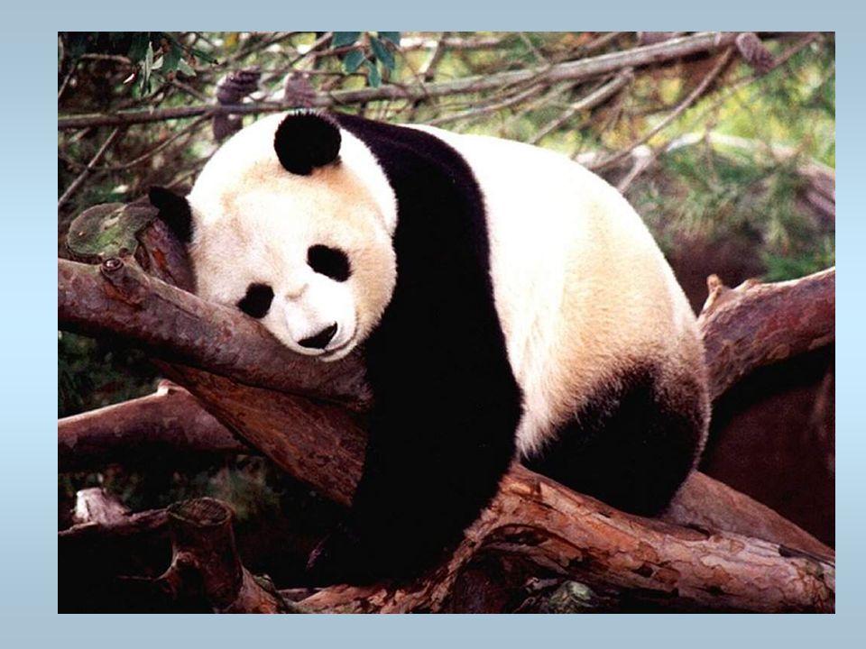 Un panda Cest un animal protégé