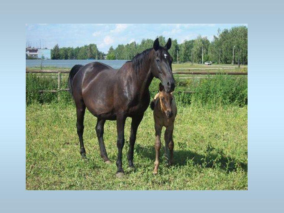 Des chevaux Une mère avec son petit. Cest une jument avec son poulain