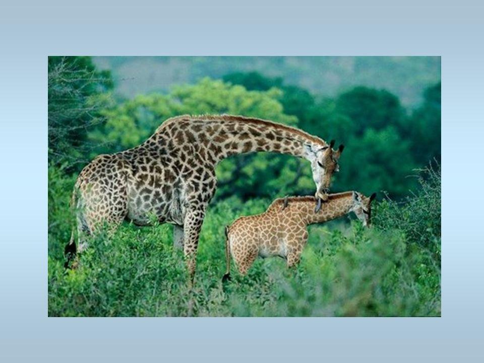 Une girafe La girafe lèche son petit. Cest un girafon