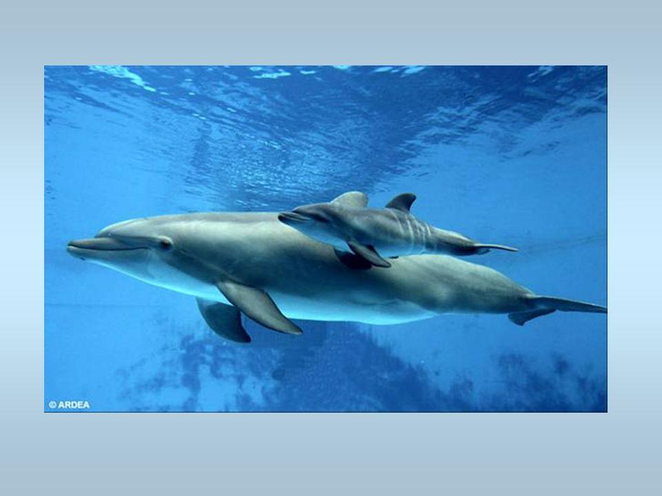 Un dauphin Un dauphin nage avec son petit