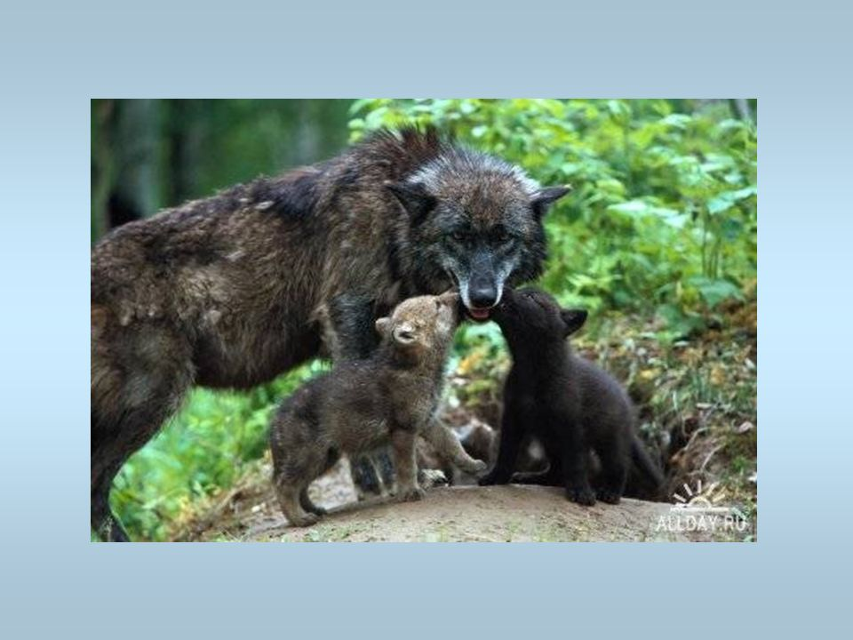 Des loups Une louve avec ses louveteaux