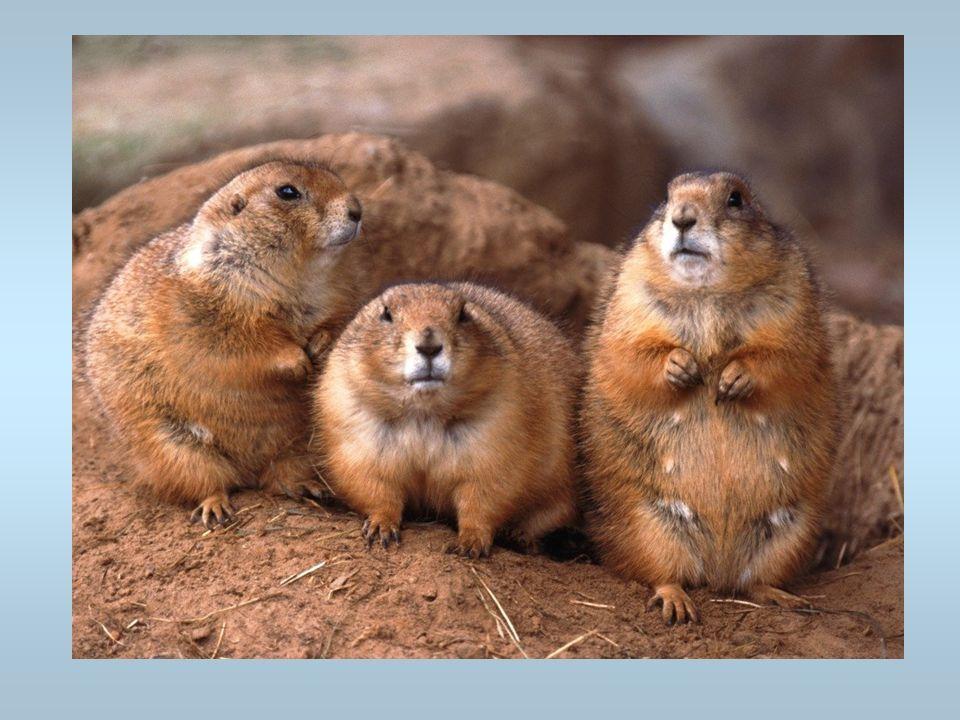 Des marmottes Elles aiment le soleil