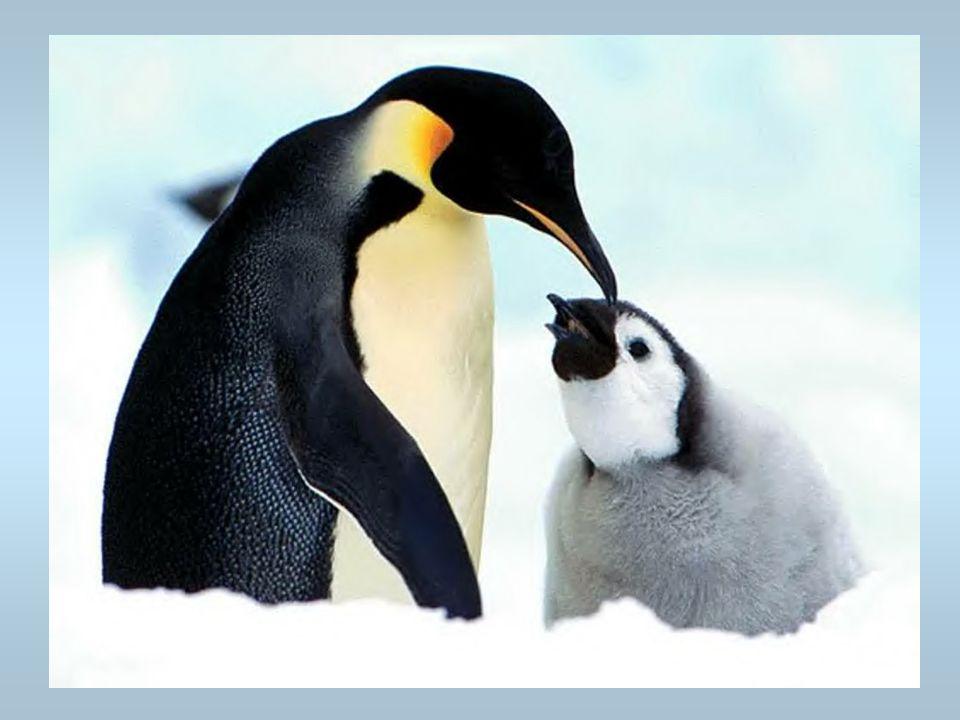 Des pingouins Une mère avec son petit