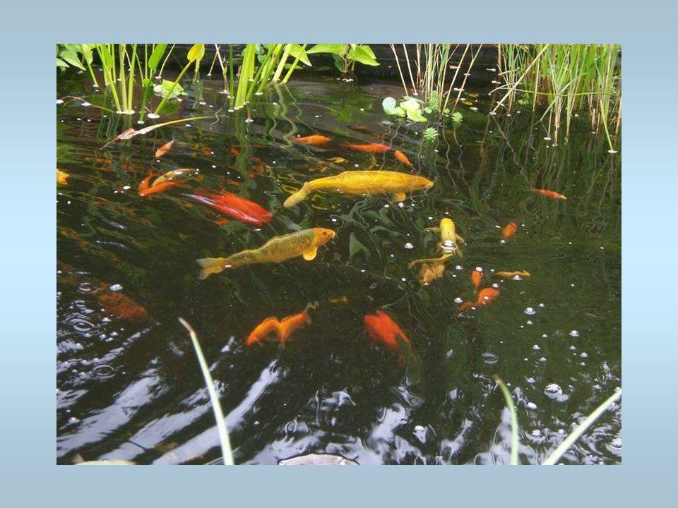 Des poissons rouges Ils nagent dans un bassin