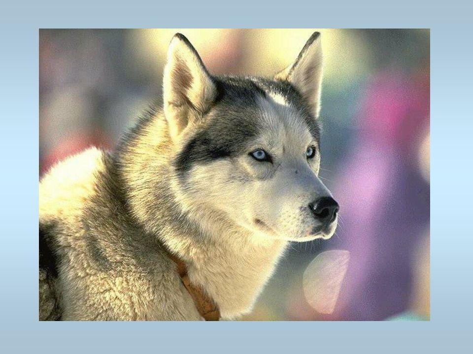 Un chien Cest un husky