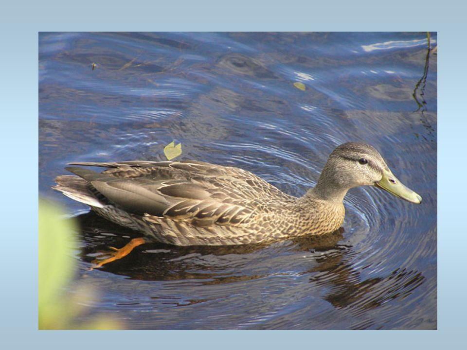 Un canard Un canard nage sur un lac