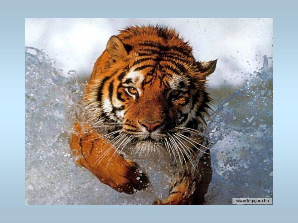 Un tigre Il y a des tigres au zoo