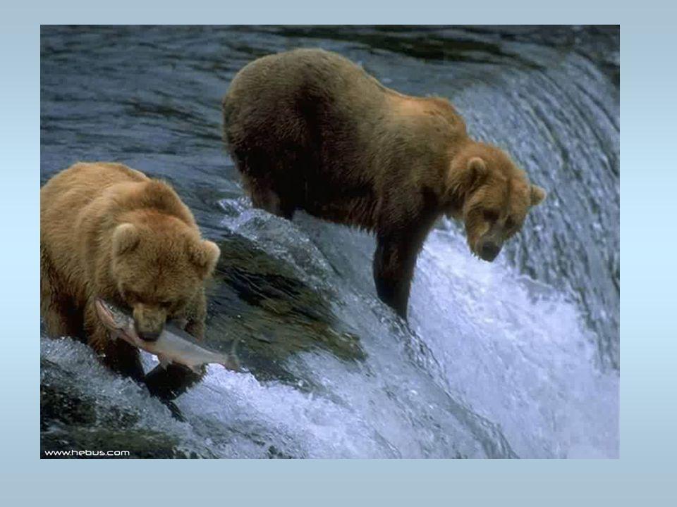 Des ours Les ours pêchent des poissons