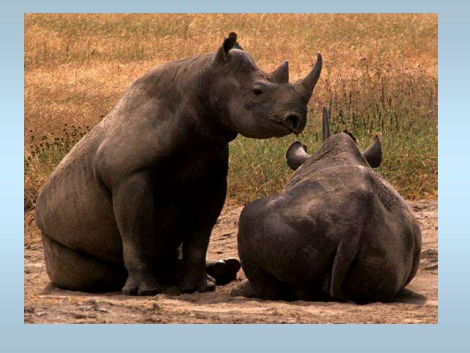 Des rhinocéros Cest un couple de rhinocéros